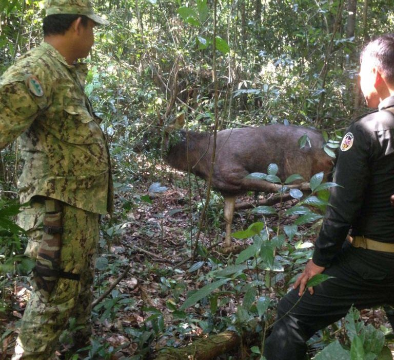 Rangers_rescue_Sambar_from_snare__Veal_Pi_Large
